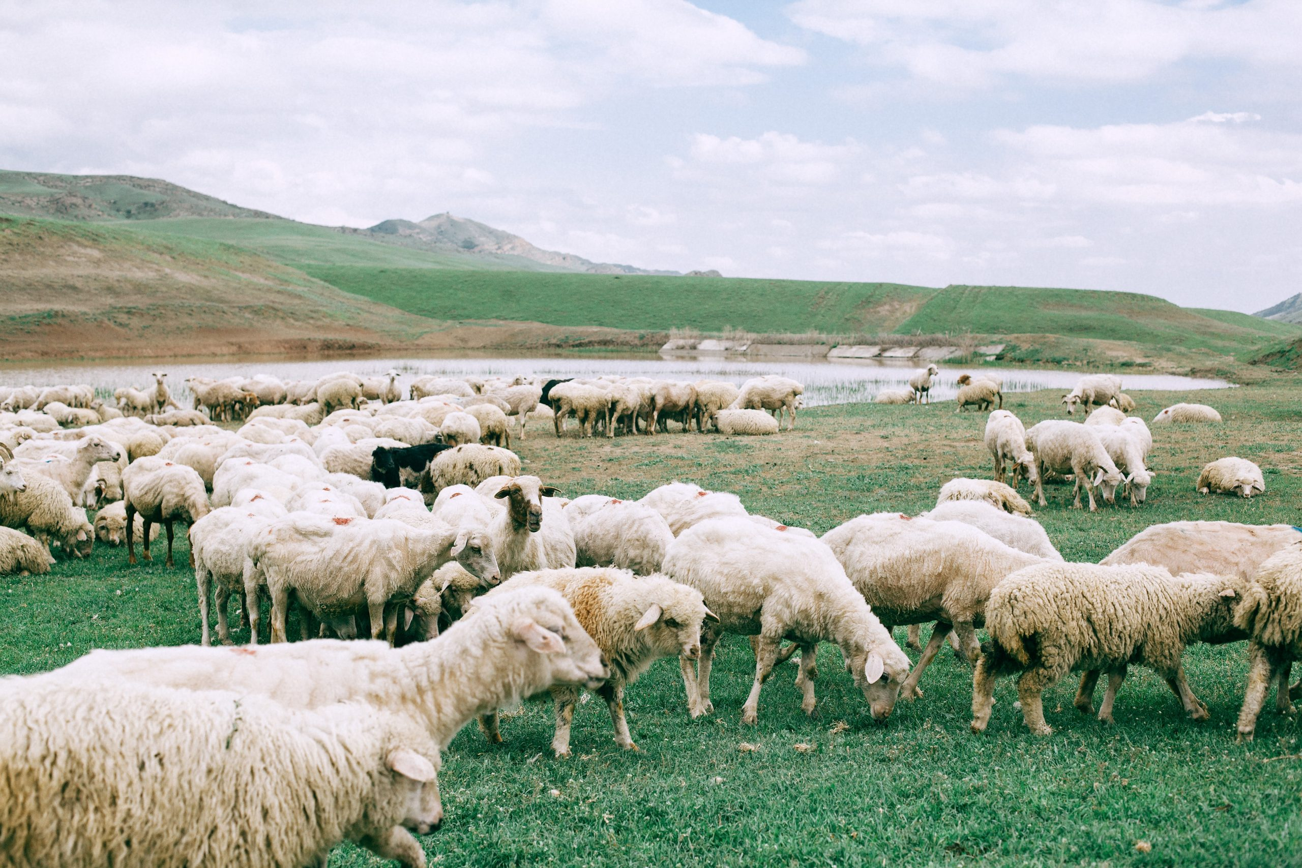 Sheep grazing in a field like Sheeple waiting to be told what to do next.